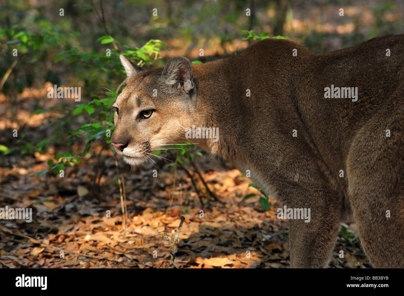 Florida Panther Puma Concolor Coryi Florida Captive Stock Image