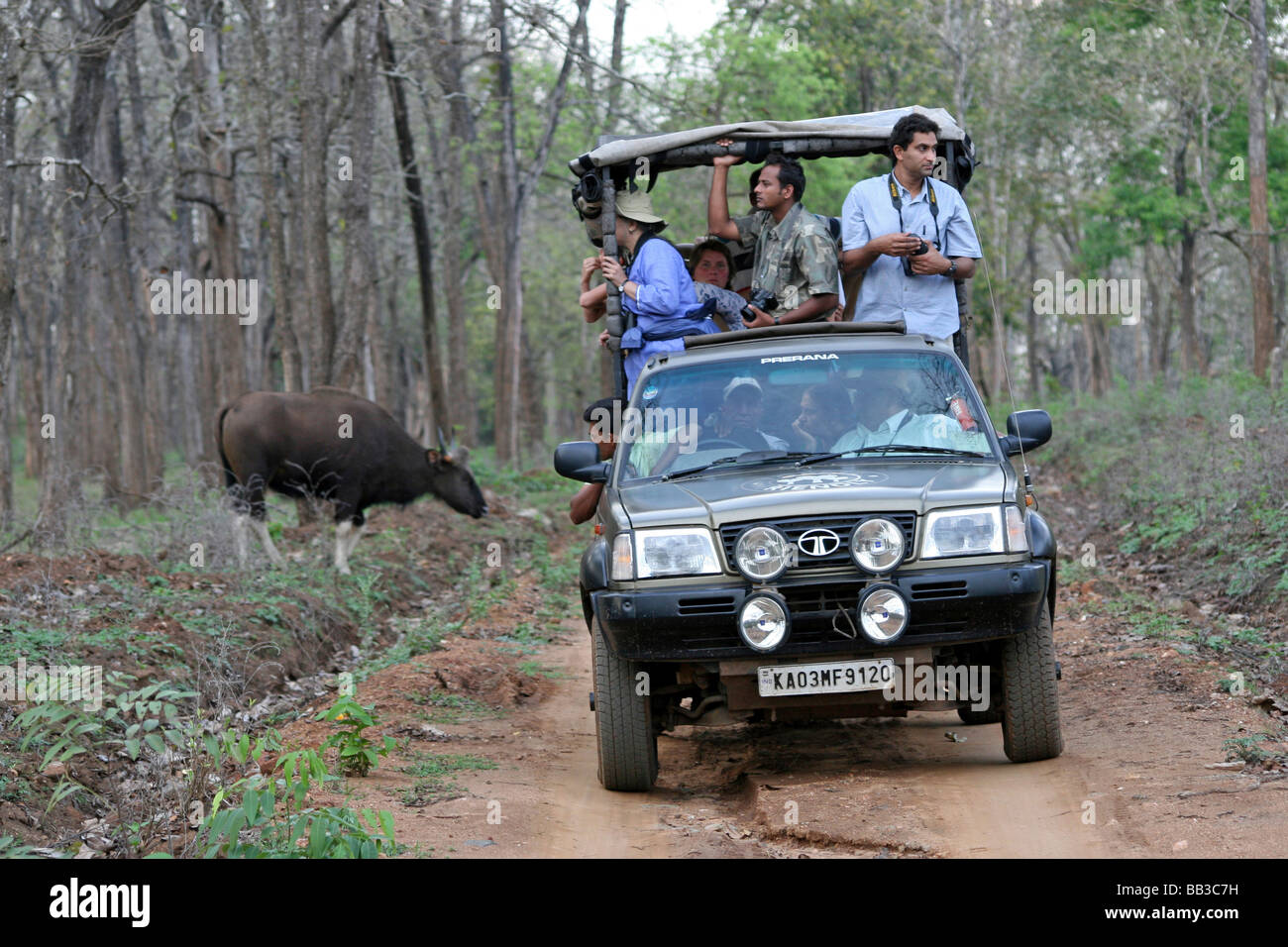 Indian Gaur Bos gaurus gaurus Crossing Forest Track Behind 4WD full Of Tourists Wildlife Watching At Nagarhole NP, - Stock Image