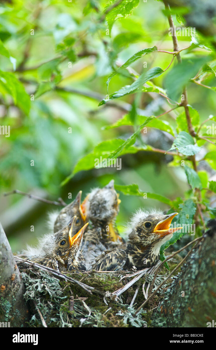 A Thrush Turdus ericetorum feeding four fledgling baby chicks in her nest in a cherry tree in Sussex - Stock Image