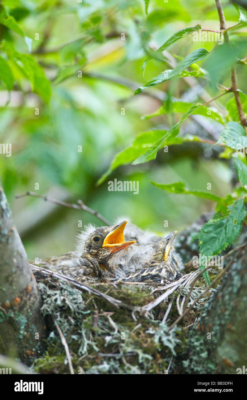 A Thrush Turdus ericetorum bird feeding four fledgling baby chicks in her nest in a cherry tree in Sussex 2009 - Stock Image