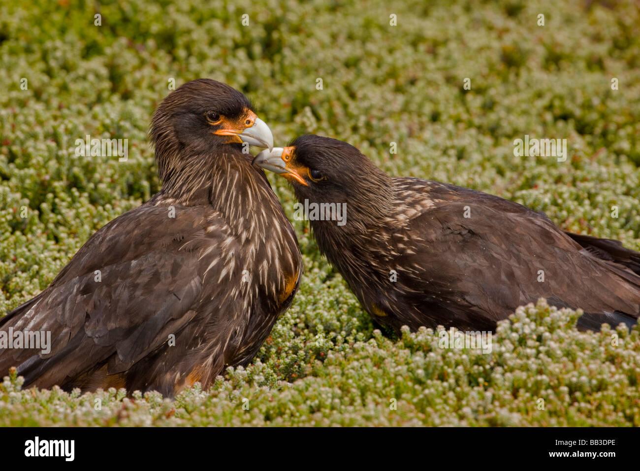 South Atlantic, Falkland Islands, West Point Island. Striated caracara preening mate. Stock Photo
