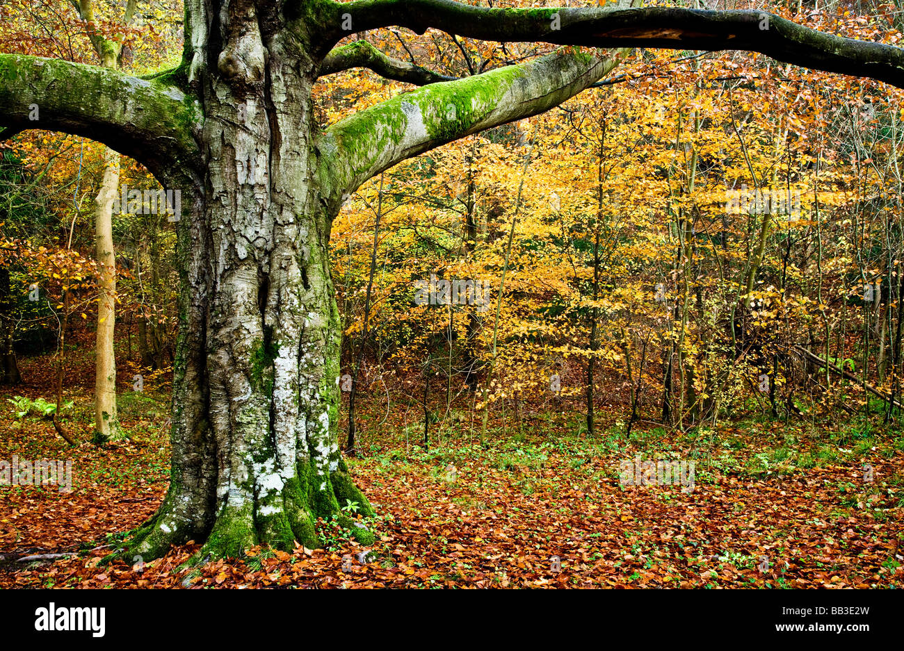 Sturdy tree trunk in  autumn woods in Gloucestershire England UK - Stock Image