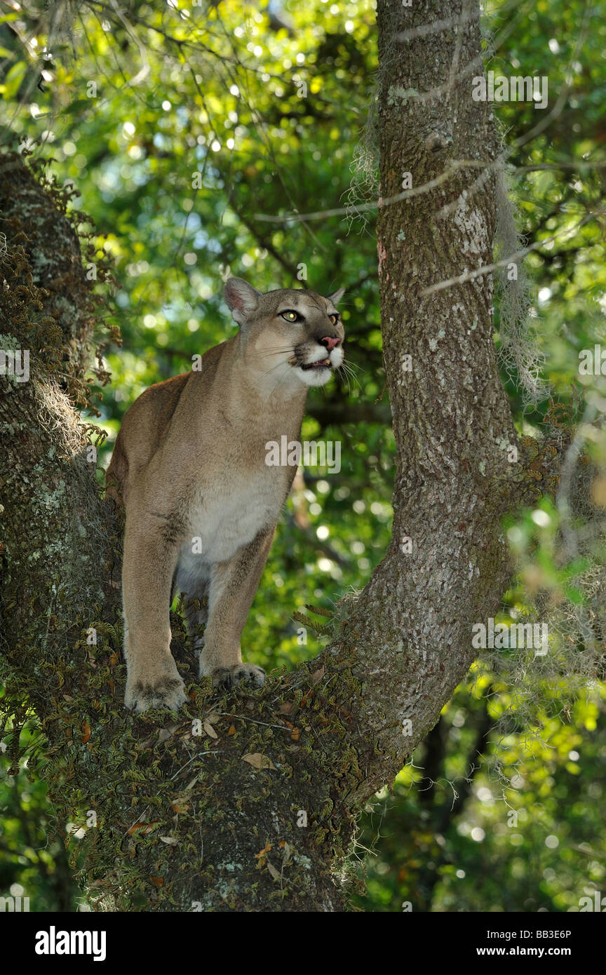 3a00a5f0973 Florida panther Puma concolor coryi Florida captive Stock Photo ...