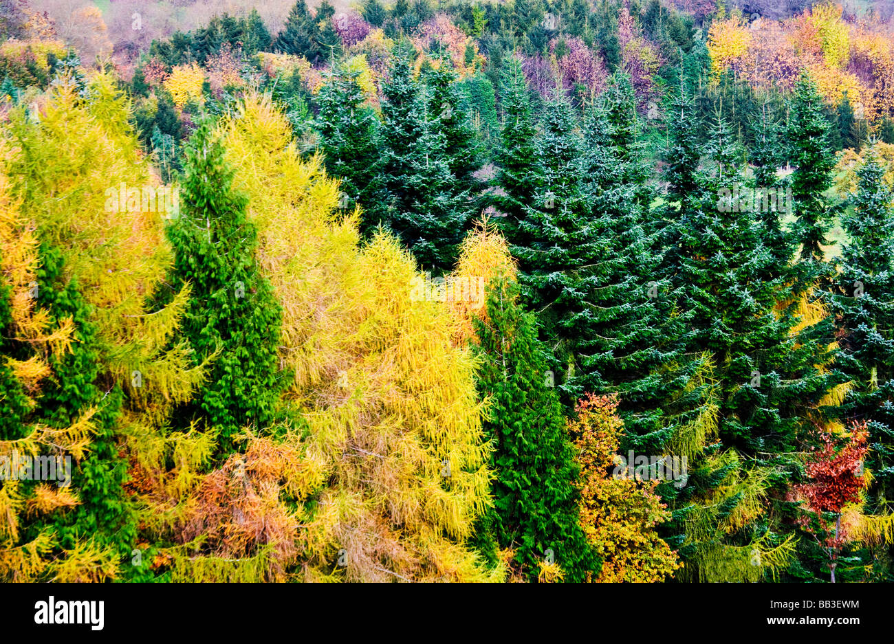 Autumn colours in a conifer forest in England UK - Stock Image