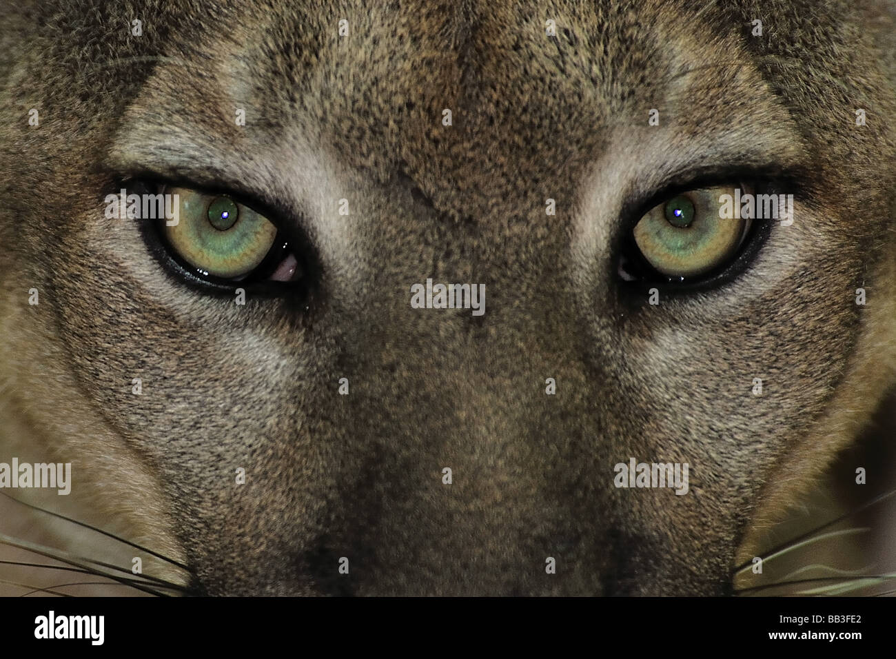Florida panther Puma concolor coryi Florida captive - Stock Image