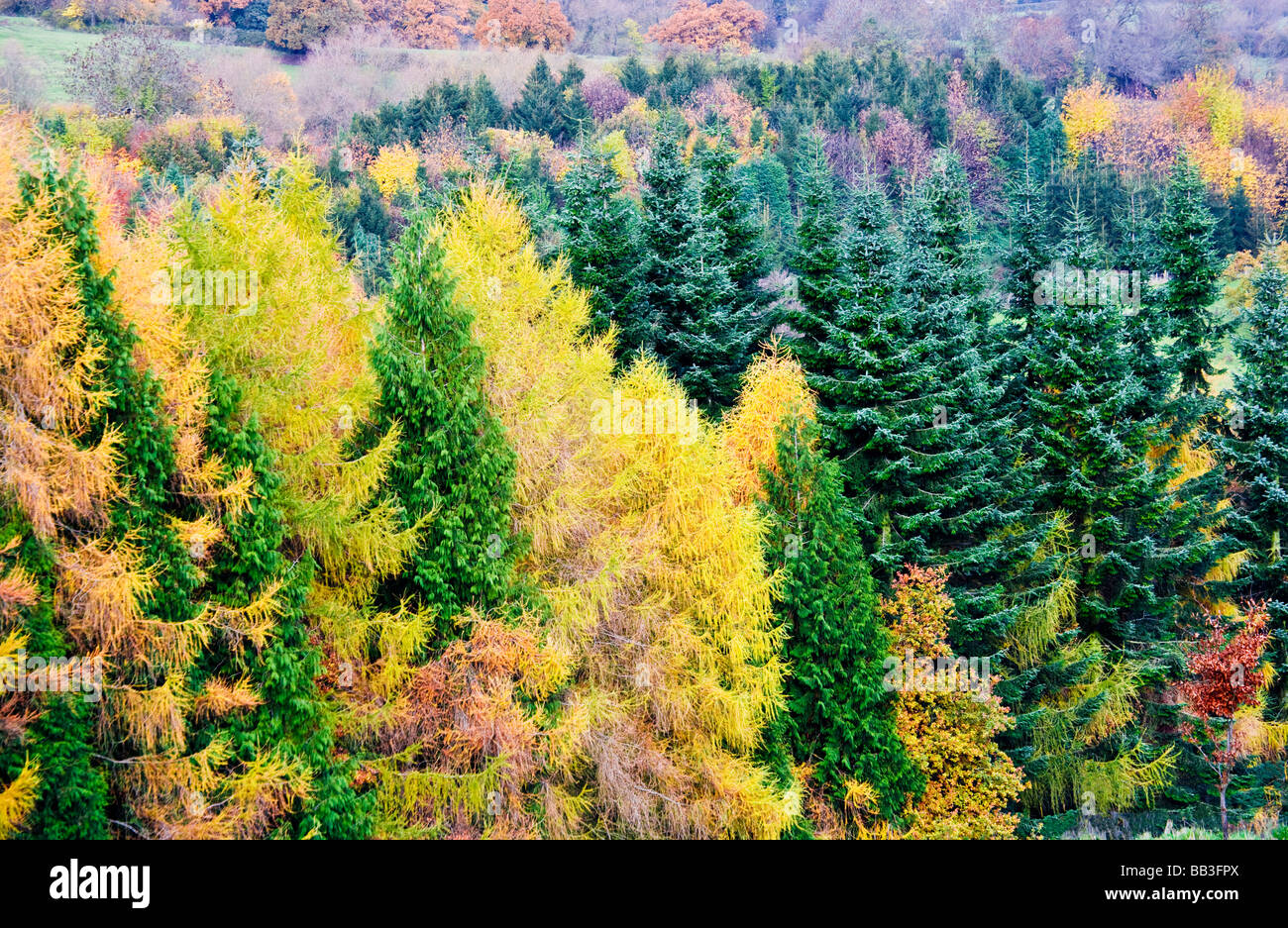 Autumn colours in a conifer wood in Gloucestershire England UK - Stock Image