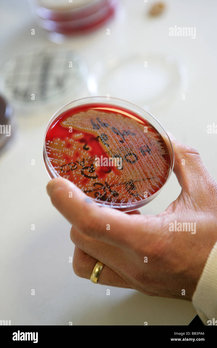Harmful bacteria being grown to test wound swabs taken from a patient - Stock Image