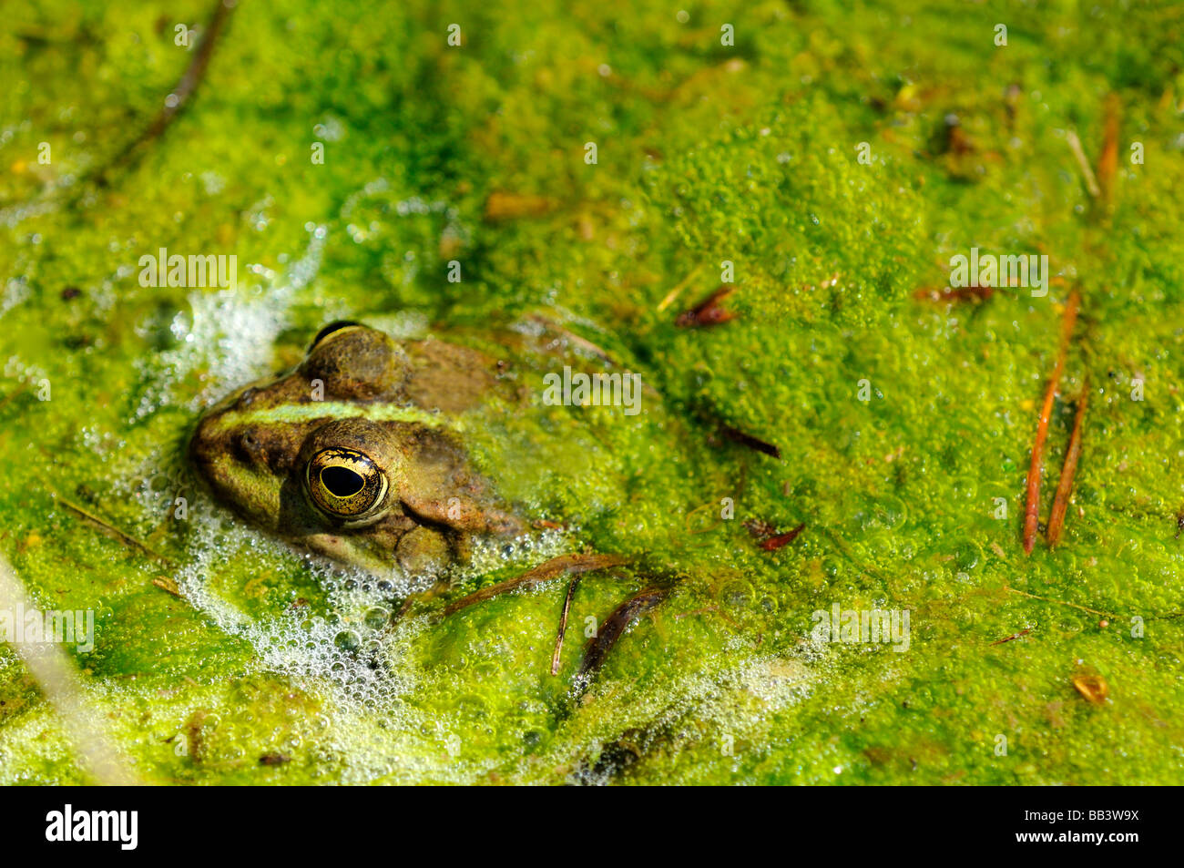 Edible frog, Water frog, Rana kl esculenta - Stock Image