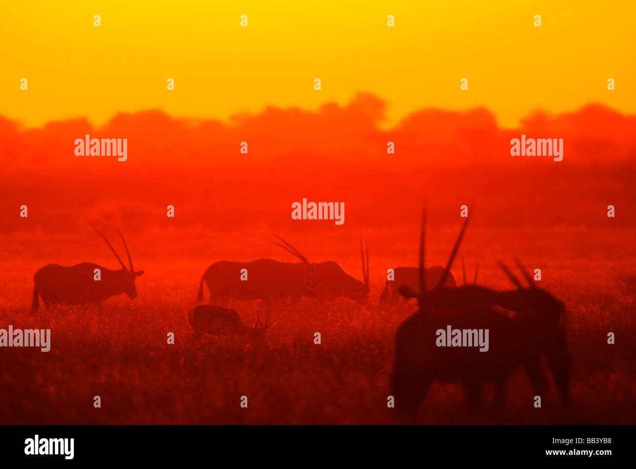 Orix and springbok at sunset on the Central Kalahari Park, Kalahari Desert, Botswana - Stock Image