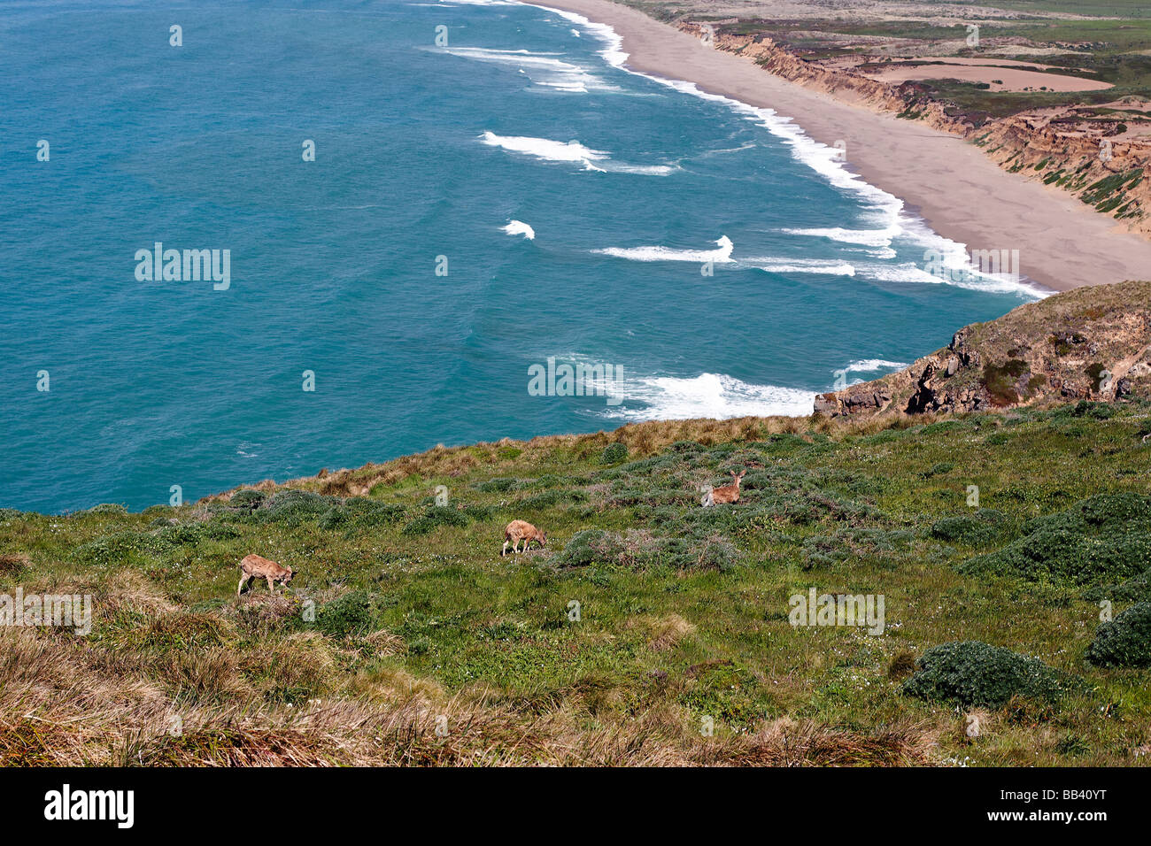 Tule Elk are Grazing on the Shore Point Reyes National Seashore California - Stock Image