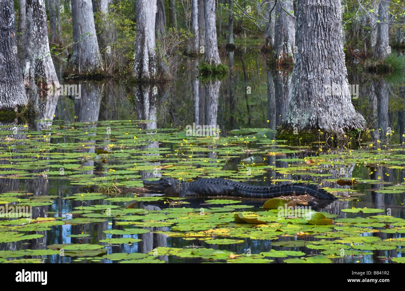 Usa South Carolina Cypress Gardens Alligator Rests On Log In Stock Photo 24060822 Alamy