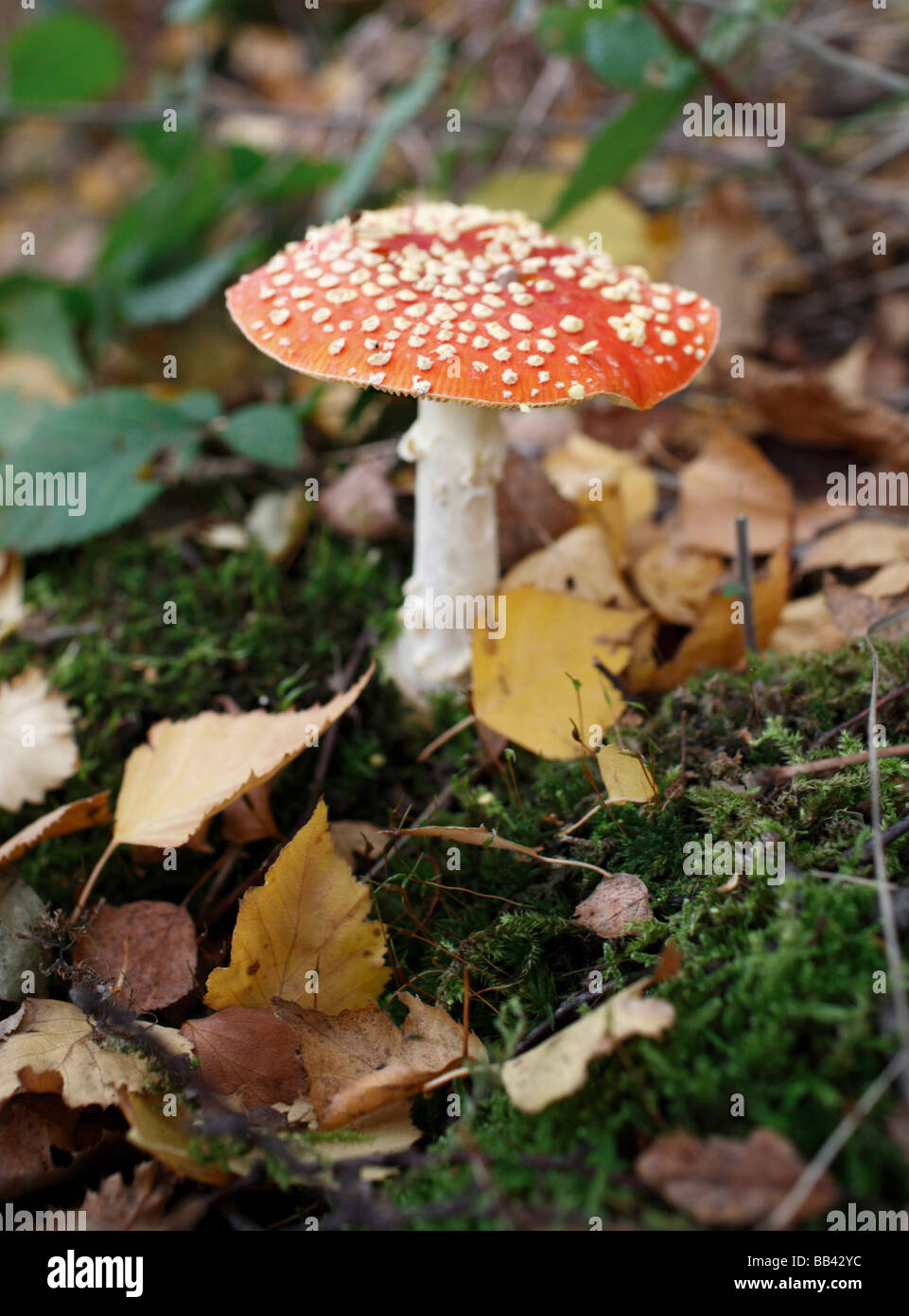Amanita muscaria - Stock Image