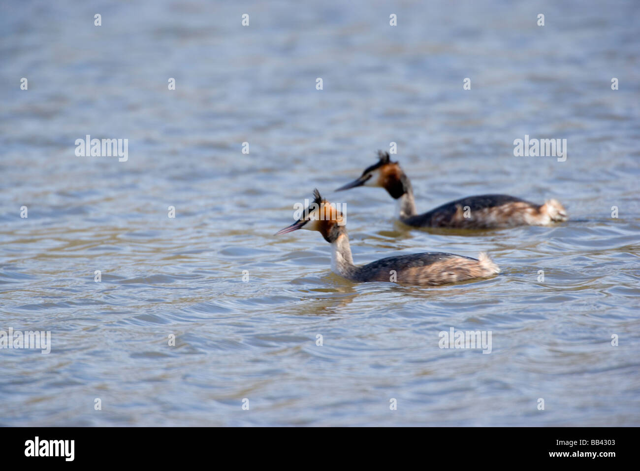 Pair of Great Crested Grebes Podiceps cristatus swimming - Stock Image