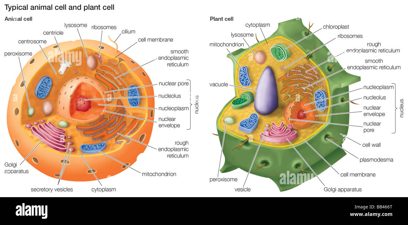Animal cell 3d diagram radio wiring diagram typical animal cell and plant cell stock photo 24064288 alamy rh alamy com animal cell in 3d model pictures animal cell 3d diagram labeled ccuart Gallery