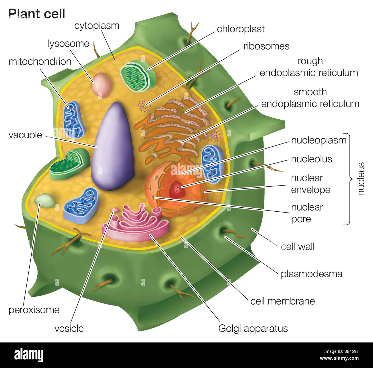 cutaway drawing of a eukaryotic plant cell stock photo 24064356 alamy