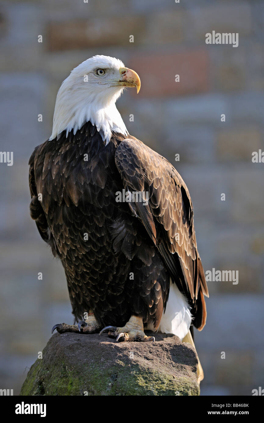 Bald eagle (Haliaeetus leucocephalus), backlight Stock Photo
