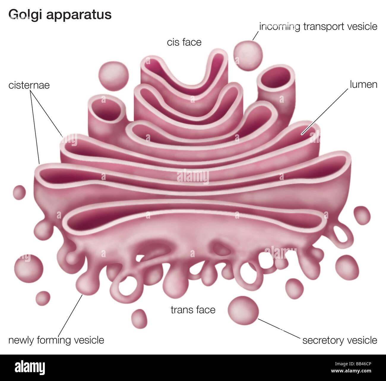 golgi apparatus stock photos golgi apparatus stock images alamy