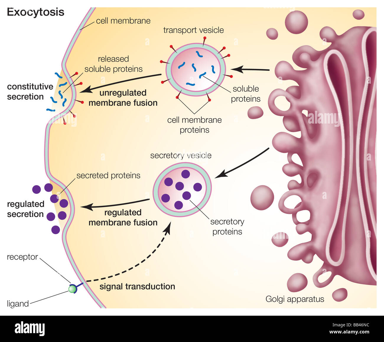 Exocytosis, a process for primary active transport across the cell membrane. - Stock Image