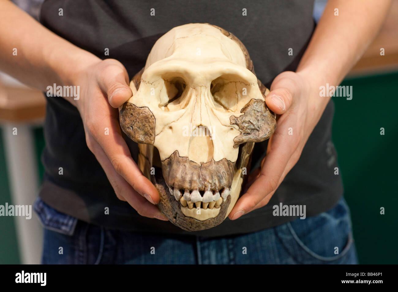 Chimpanzee skull - Stock Image