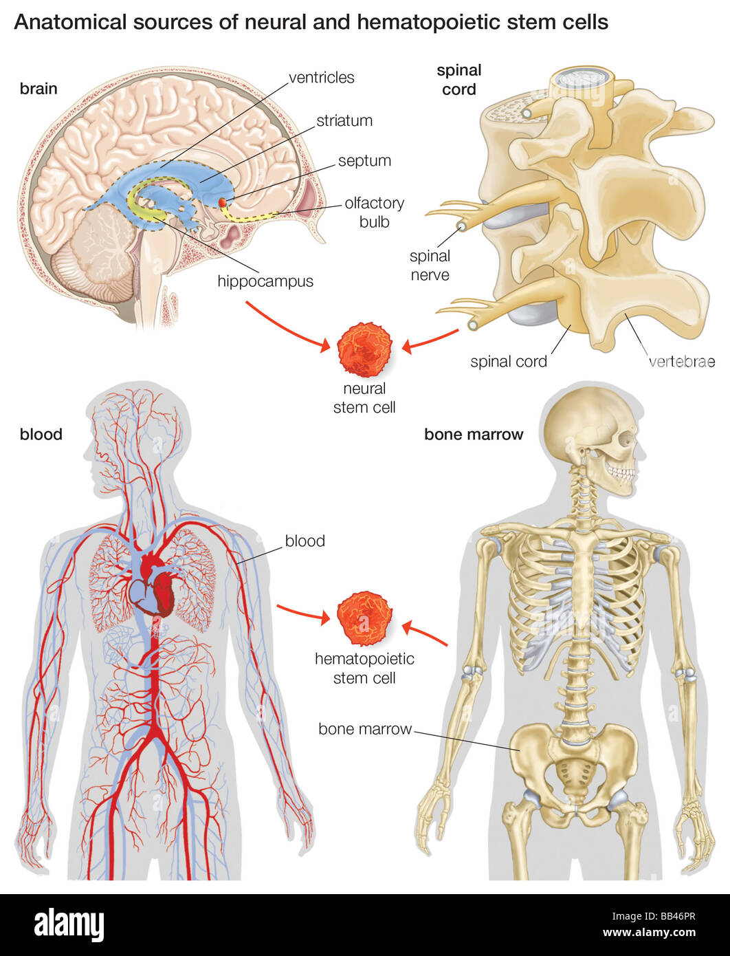 Anatomical sources of neural and hematopoietic stem cells Stock ...