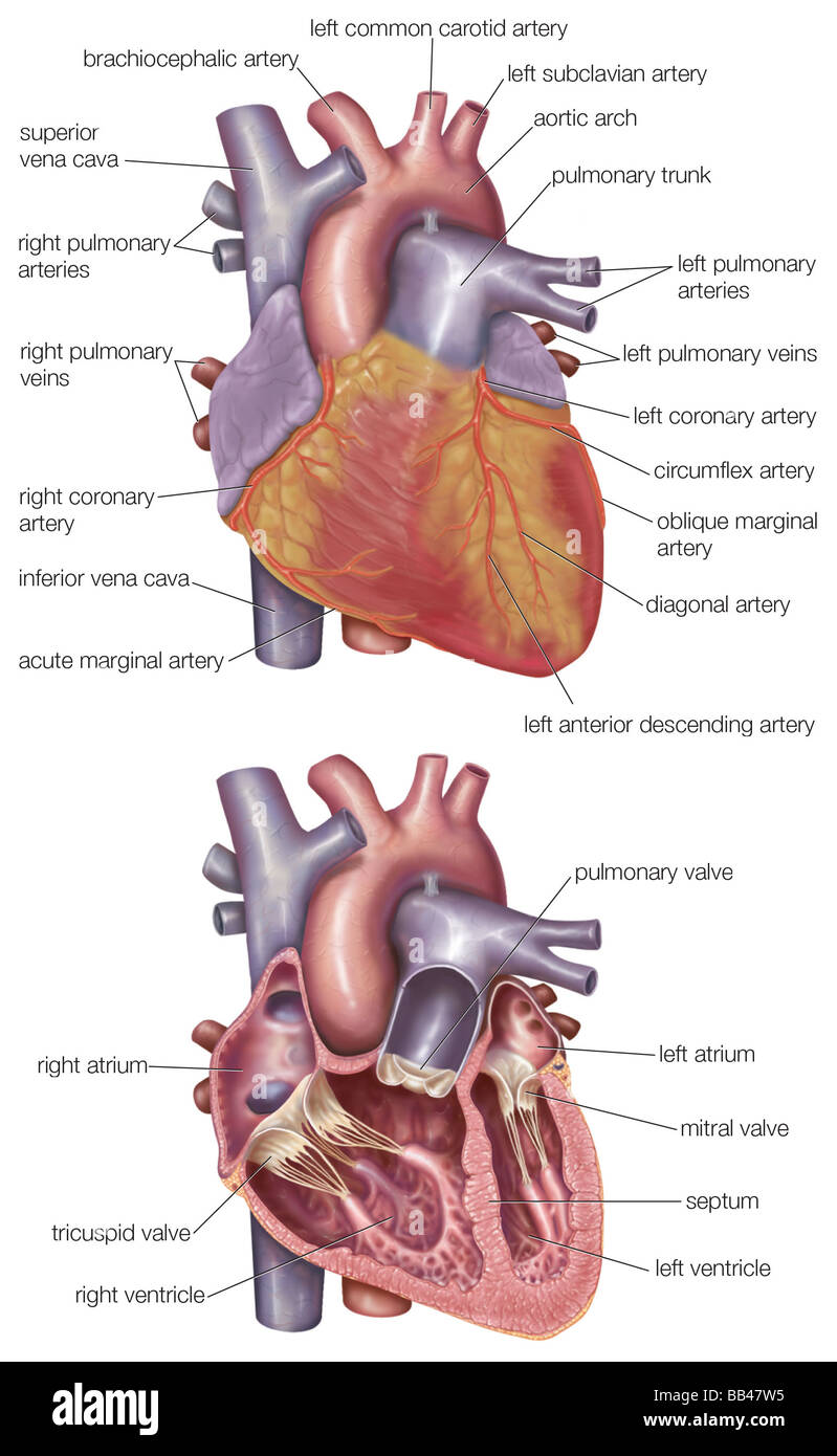 Diagram showing the exterior and a cross section of the human heart diagram showing the exterior and a cross section of the human heart ccuart Choice Image
