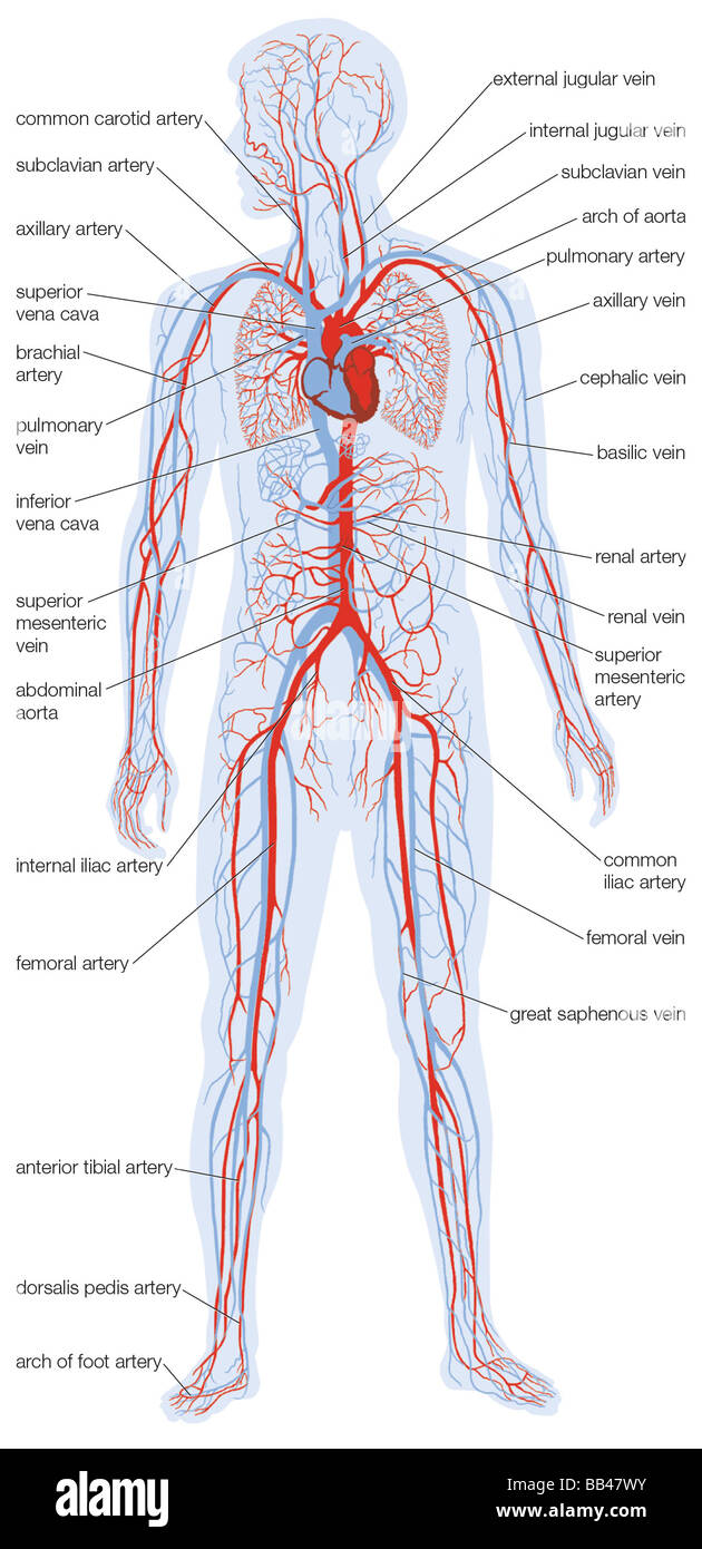 Silhouette of the human body showing the location and extent of the silhouette of the human body showing the location and extent of the heart and vascular system ccuart Gallery