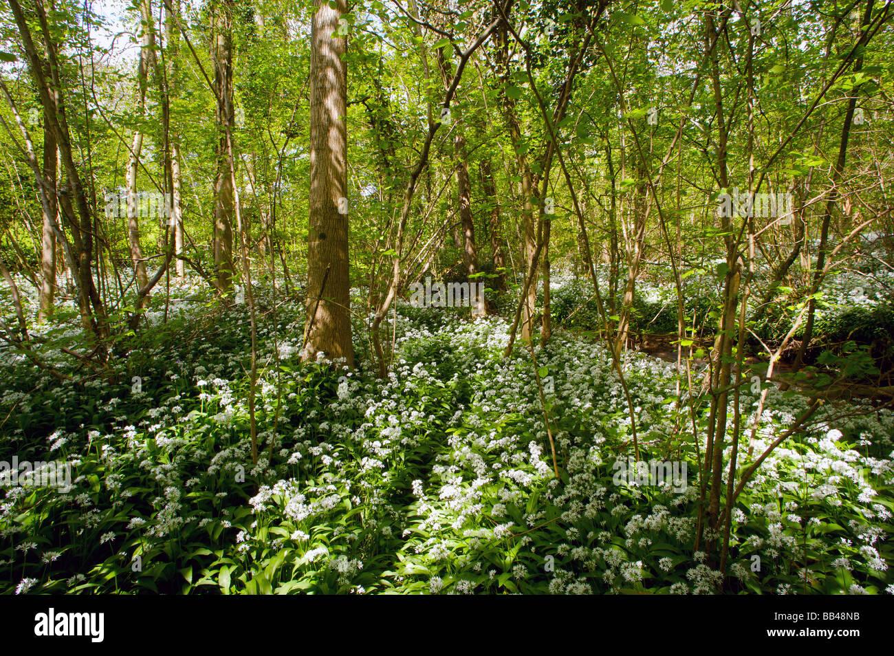 Bear garlic near river bed Stock Photo