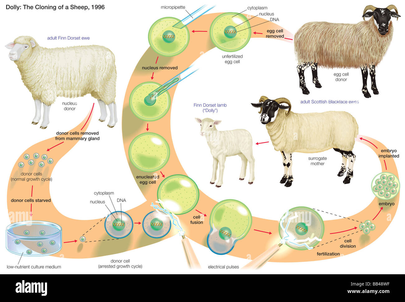 the biological and genetical process of cloning sheep Cloning in biology is the process of producing genetically identical individuals, or the creation of a copy, which means that clones have been occurring in nature for years - with twins by those standards, the first cloned animal was created in 1885.