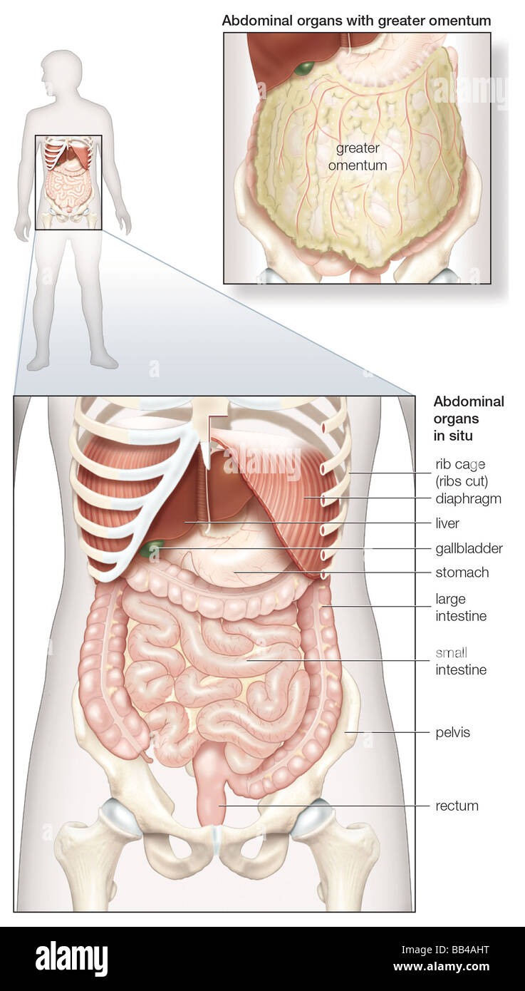 Diagram Of The Human Abdominal Cavity Showing The Digestive Organs
