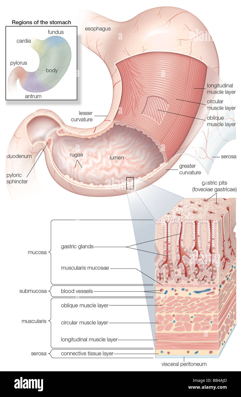 Diagram showing the Mucosa and musculature of the human stomach plus ...