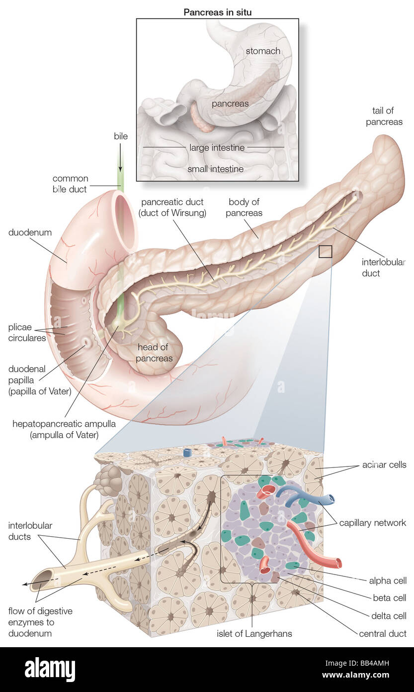 Diagram detailing the parts of the pancreas, as well as an inset of ...