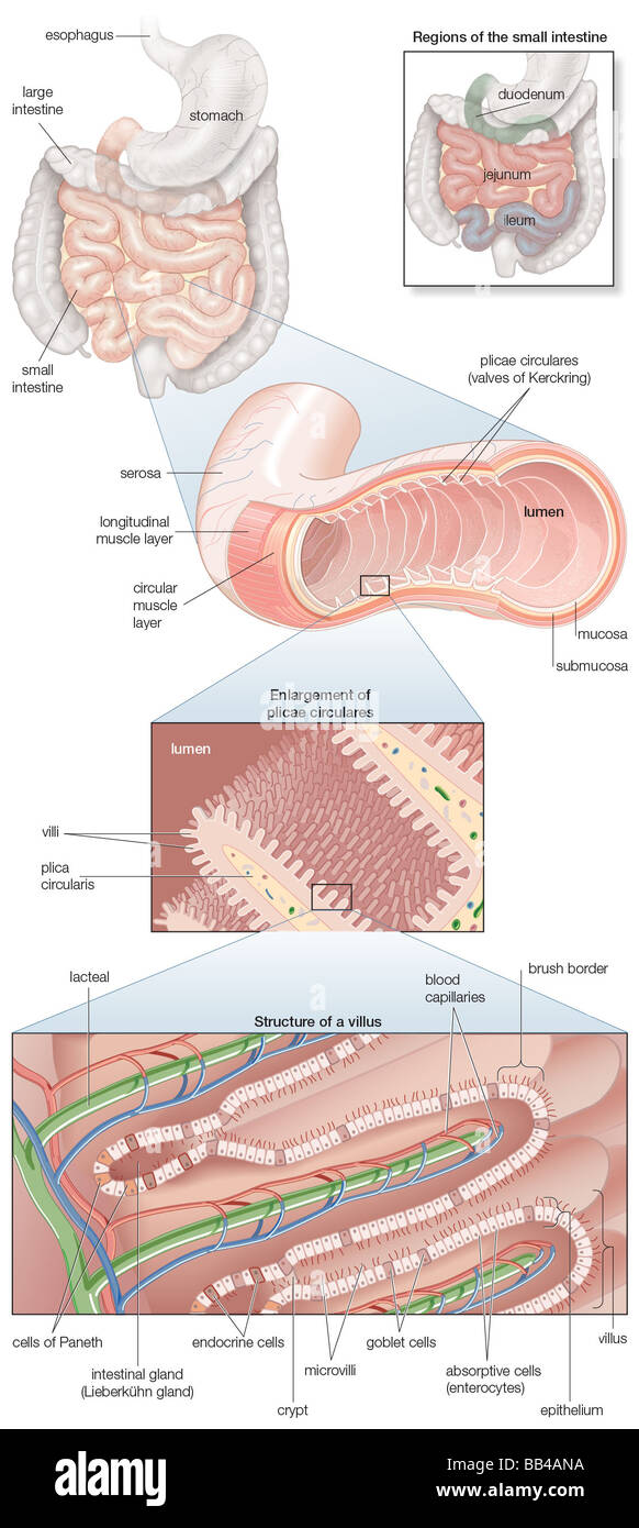 diagram of the human small intestine, with insets of musculature Oral Cavity Diagram