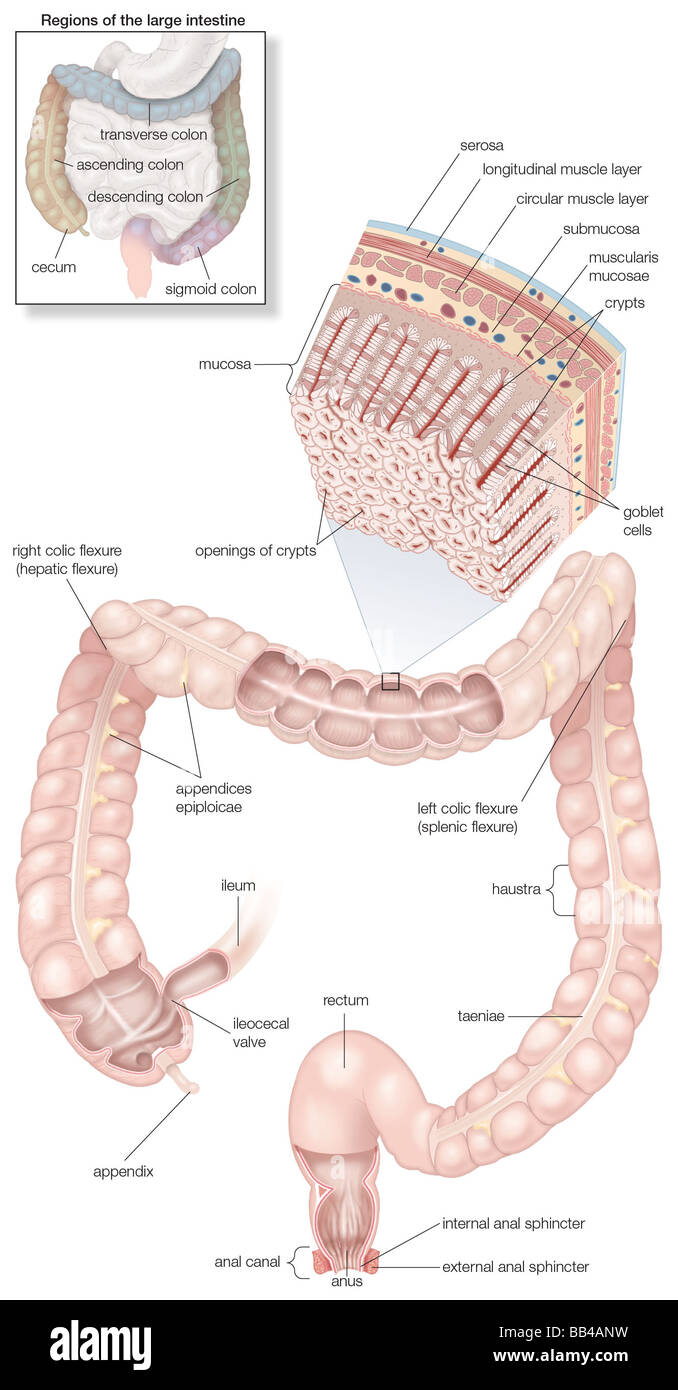 diagram of the human large intestines, including and inset of its
