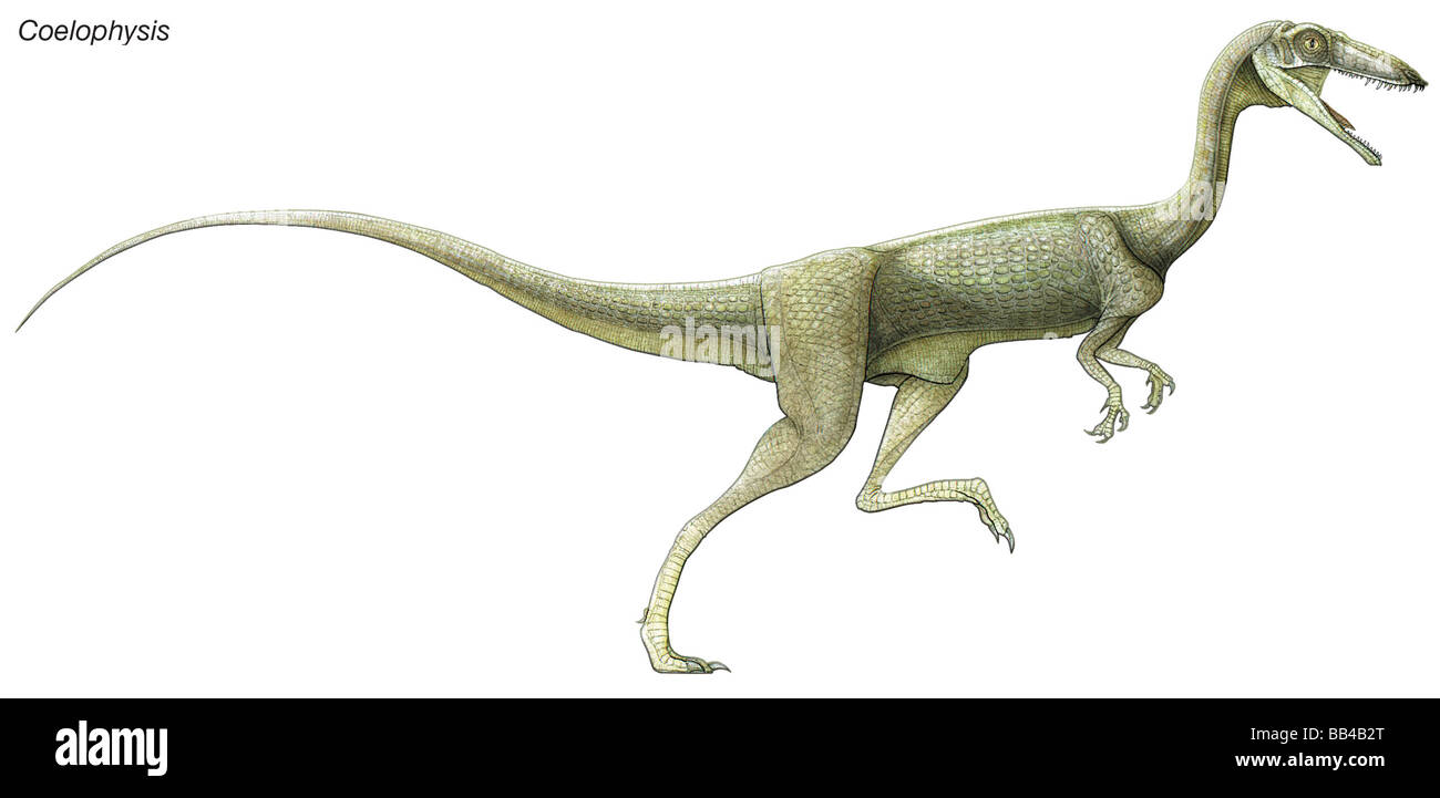 Coelophysis, a late Triassic dinosaur. A predator living in large herds, it had hollow limbs, similar to birds. - Stock Image