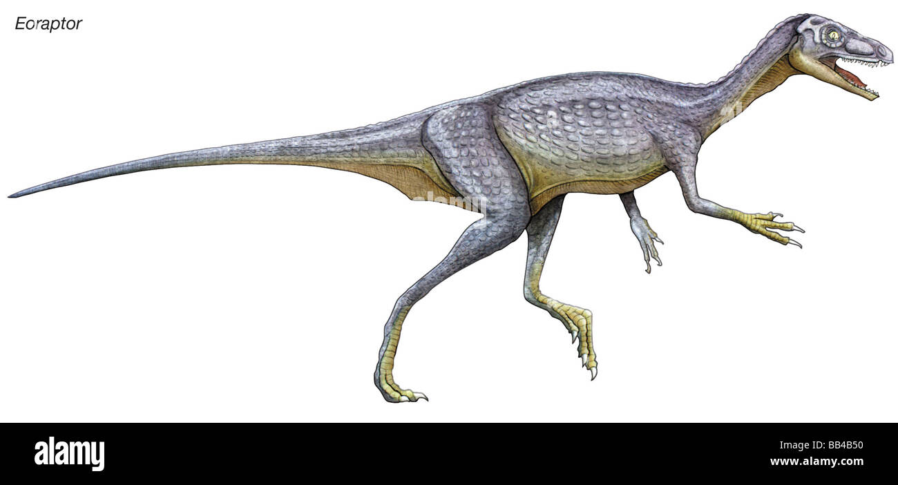 Eoraptor, late Triassic dinosaur. This tiny carnivore is close to what the common ancestor of all dinosaurs might - Stock Image