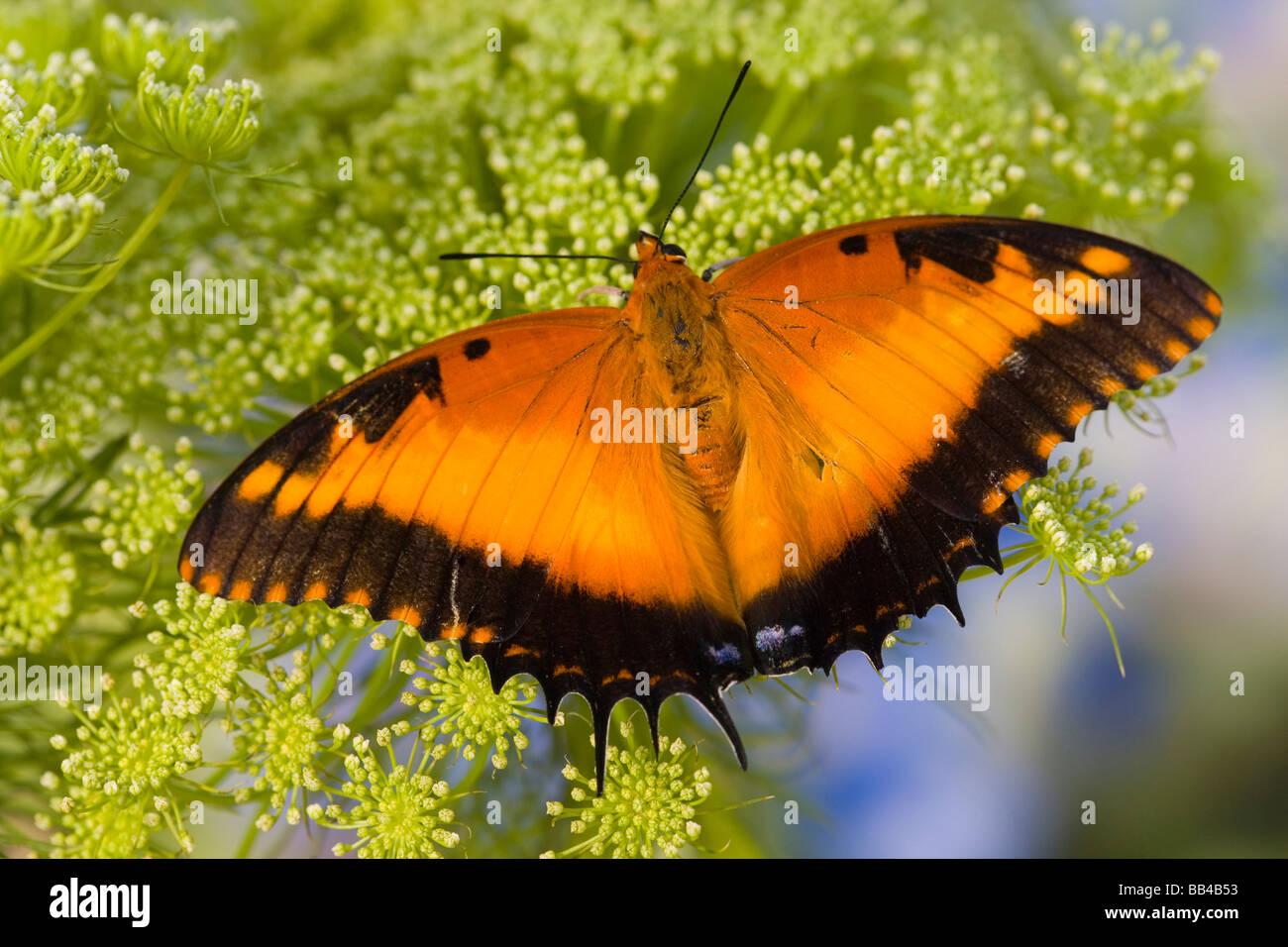 Bộ sưu tập cánh vẩy 4 - Page 23 Sammamish-washington-tropical-butterflies-photograph-of-charaxes-pollux-BB4B53