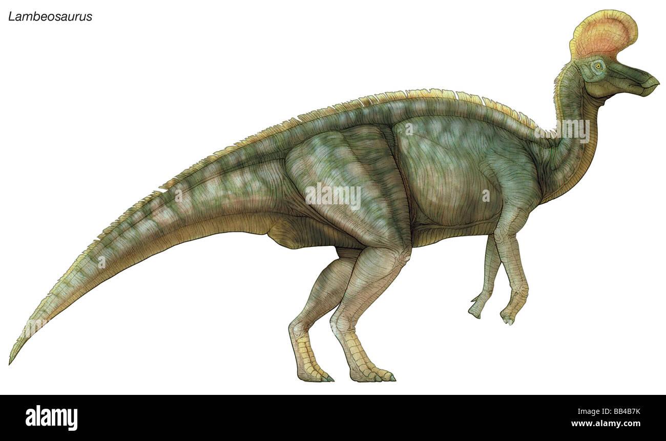 Lambeosaurus, 'Lambe's lizard,' late Cretaceous dinosaur. A robust herbivore with a distinctive head - Stock Image