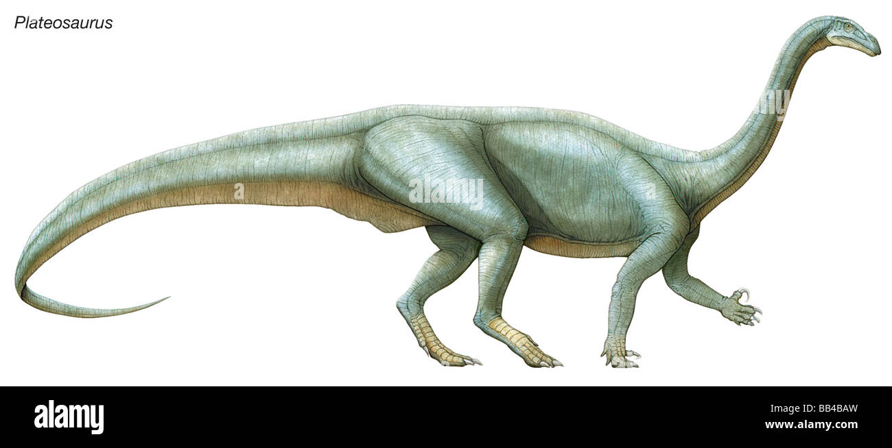 Plateosaurus, 'flat lizard,' a late Triassic herbivore. It may have reared up and used its long neck to - Stock Image