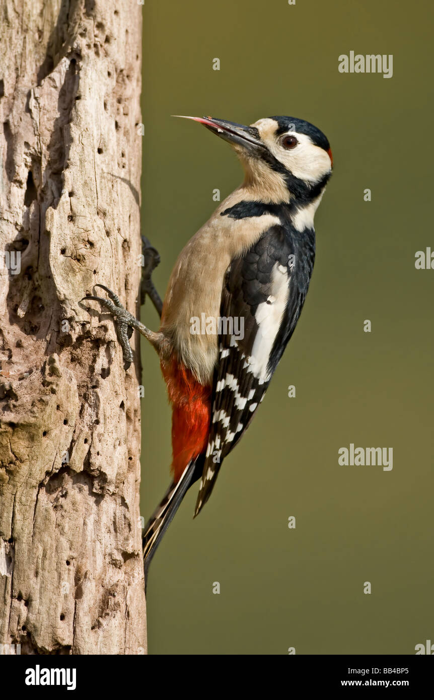 greaterspotted woodpecker on feeding on tree - Stock Image