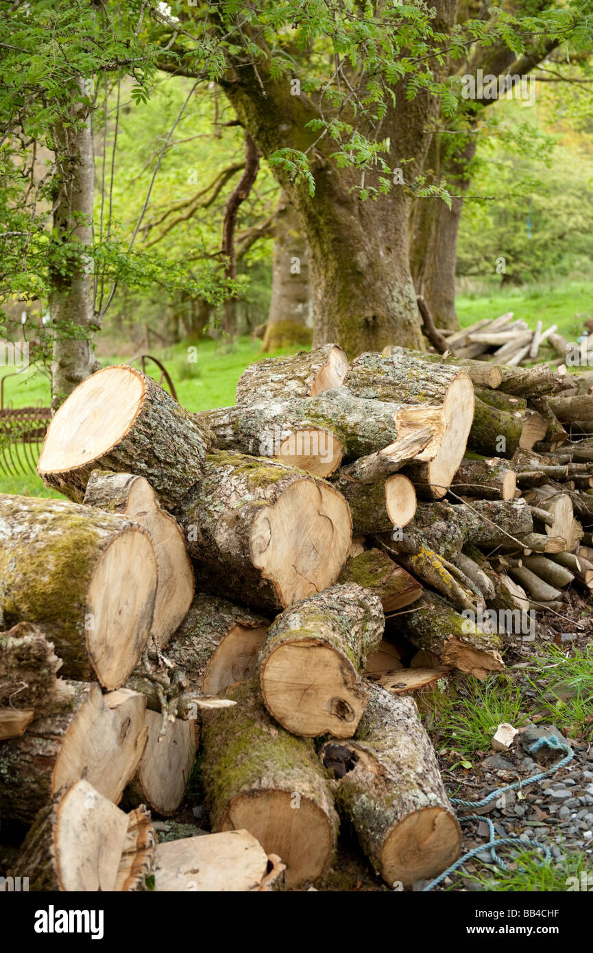 Oak logs cut and piled up ready to be made into firewood in a managed woodland Wales UK - Stock Image