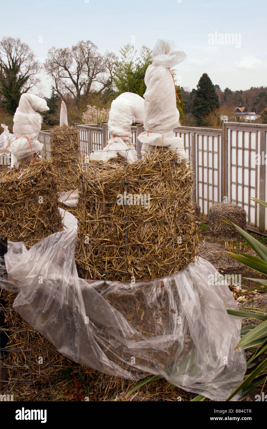 MUSA SAPIENTUM. BANANA PLANTS PROTECTED FOR THE WINTER AT RHS WISLEY. - Stock Image