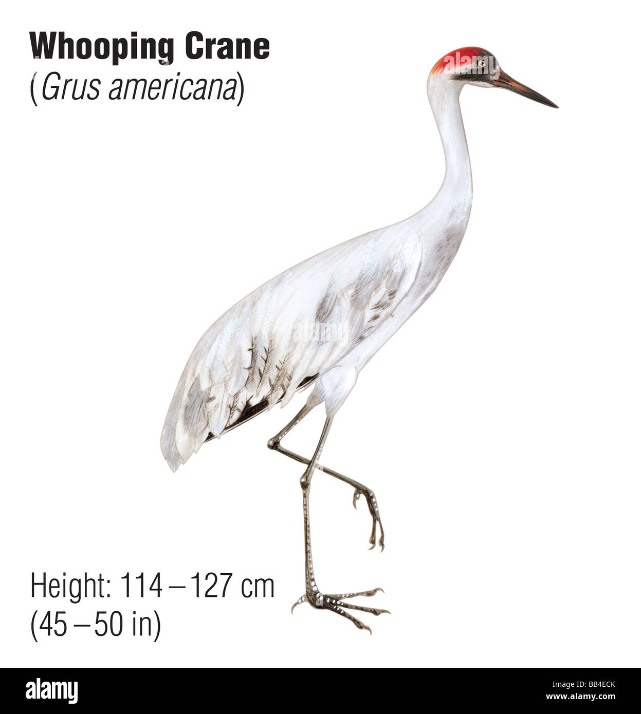 Whooping crane (Grus americana), an endangered species - Stock Image