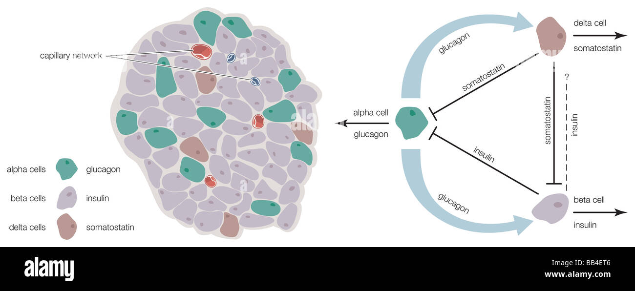 The islets of Langerhans contain alpha, beta, and delta cells that produce glucagon, insulin, and somatostatin, - Stock Image