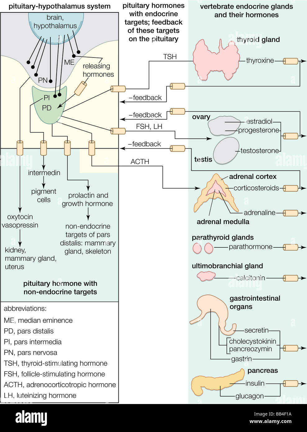 Relationships of endocrine glands, from the pituitary-hypothalamus ...