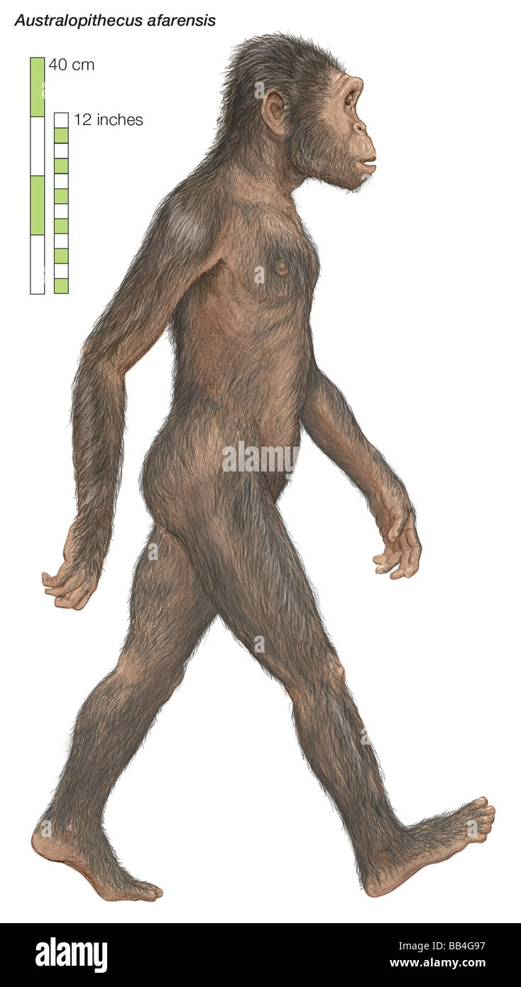 Australopithecus afarensis, the 'southern ape,' which lived from 3.8 to 2.9 million years ago. - Stock Image