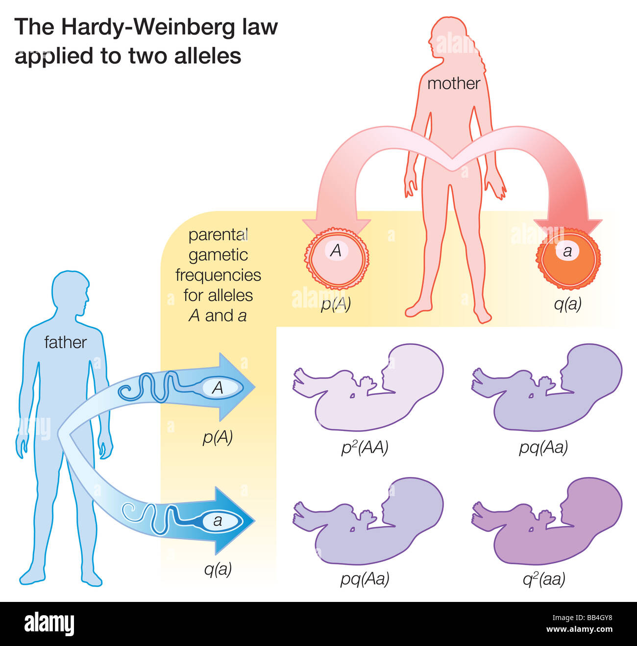 The Hardy-Weinberg Law applied to two alleles. Stock Photo