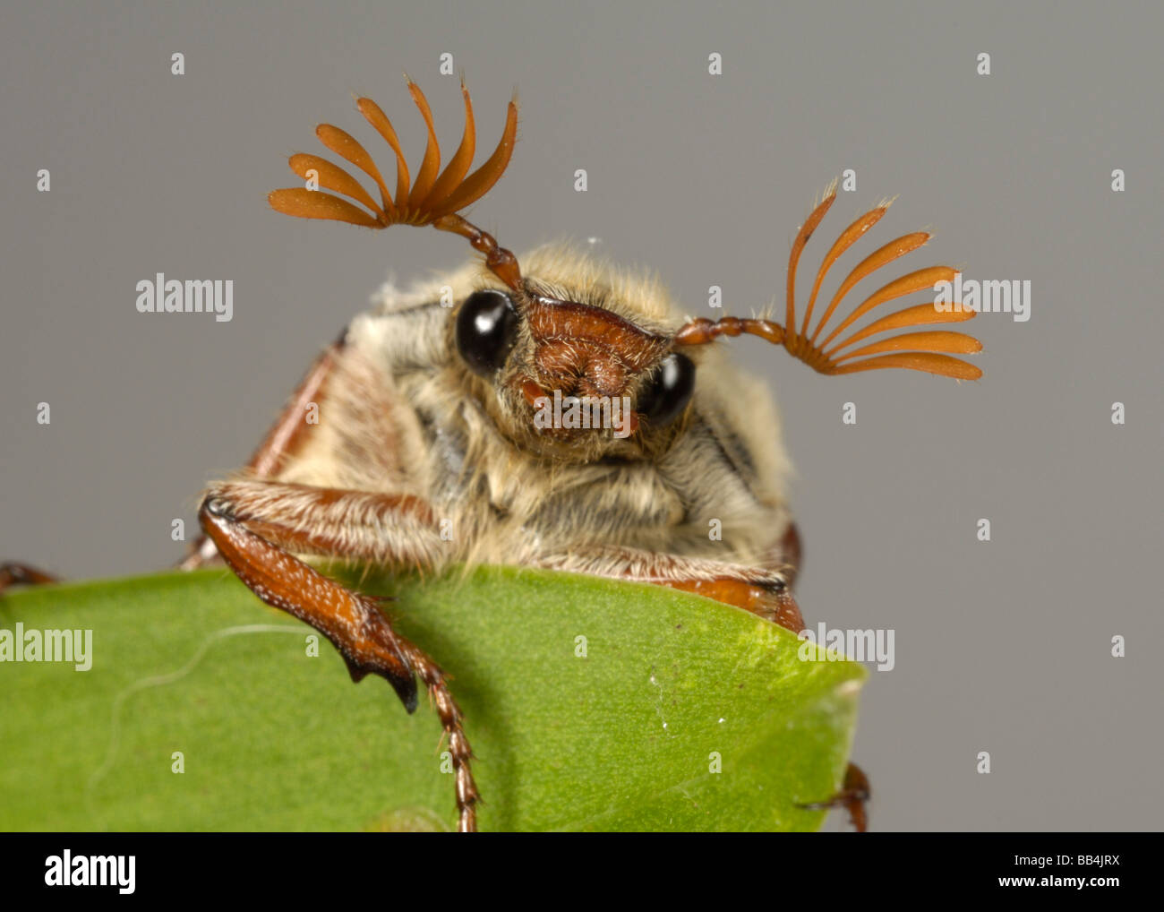 Head and antennae of an adult cockchafer Melolontha melolontha or may bug on a leaf - Stock Image