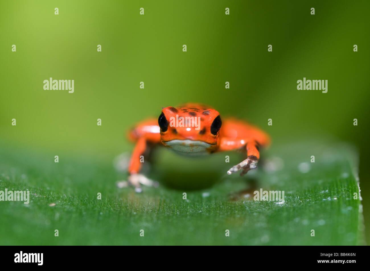 Strawberry poison dart frog at eye level - Stock Image
