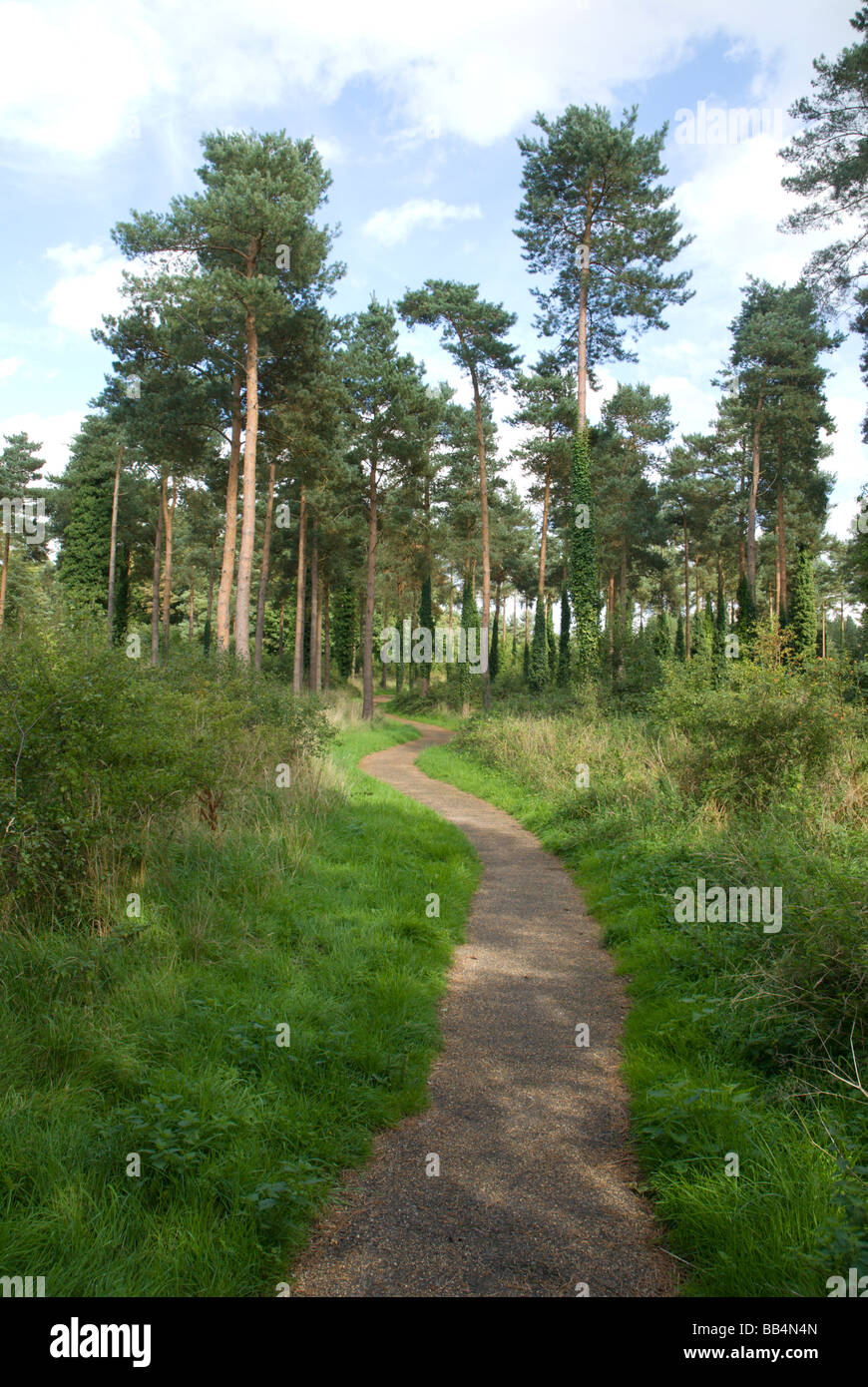 Path through conifers,Thetford forest Norfolk England UK - Stock Image