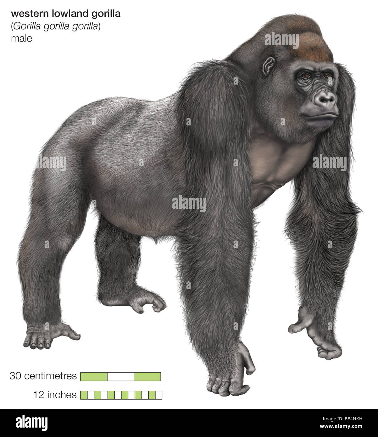 Male western lowland gorilla - Stock Image